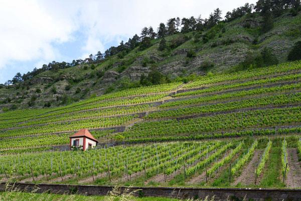 Weinanbau am Main