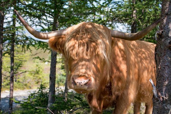 Ein sehr freundliches Hochlandbeast / a very calm Highlandbeast