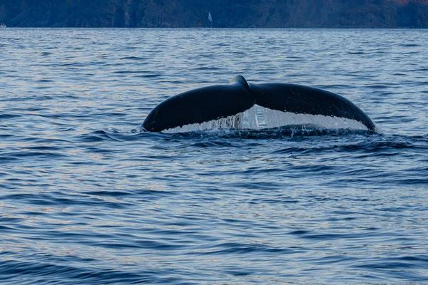 Buckelwale mischen sich unter die Orcas