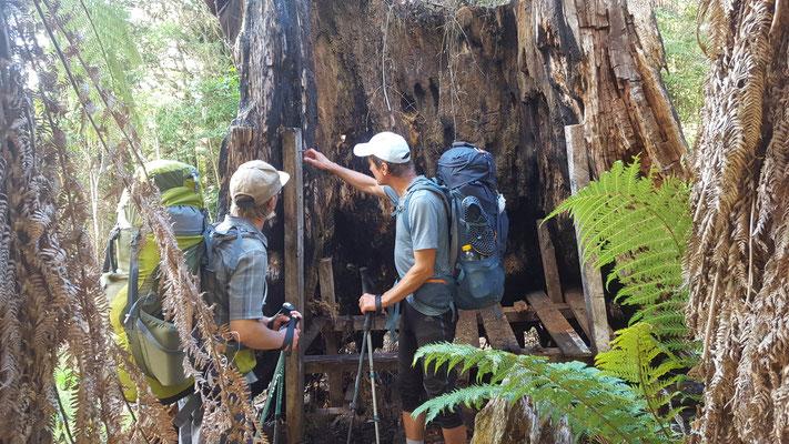 ehemals bewohntes Baumhaus am Timbertrail - Te Araroa