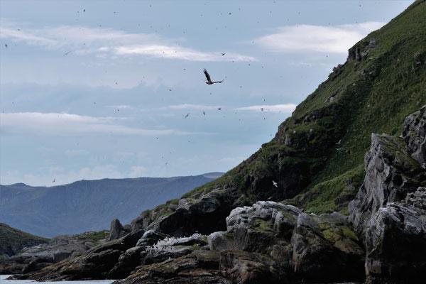 Adler auf der Jagd / eagle hunting