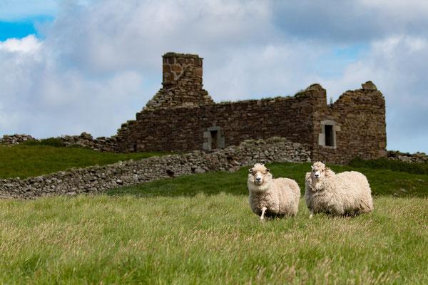 Schafe die uns neugierig begrüssen /Shep  which were curious abourt us