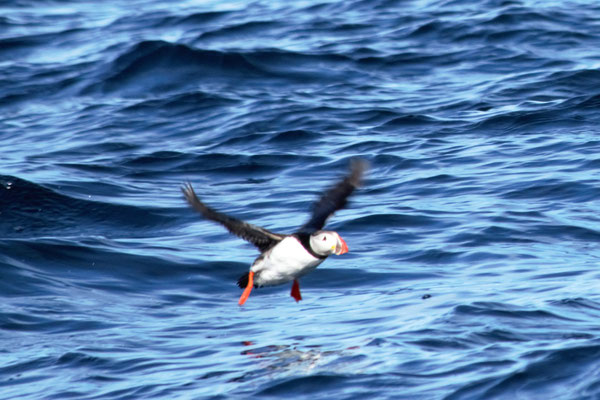 Papageientaucher/ Puffin