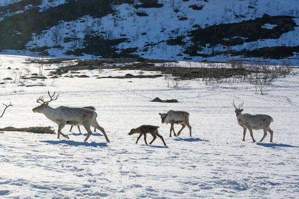 Rentiere mit Jungen in Arnøya