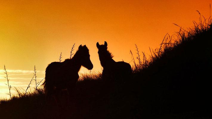 wilde Pferde an der Ninty Mile Beach Te Araroa