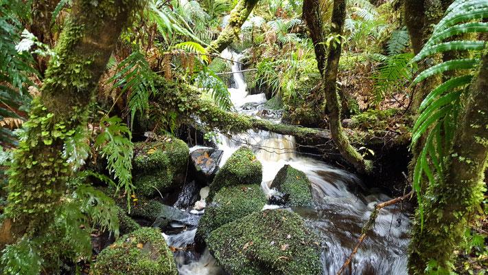 Wasser, Felsen, Bäume und Moose Te Araroa