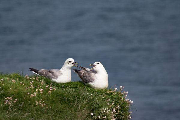 Sturmmöve / mew gull