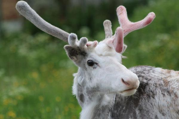 Rentier / reindeer