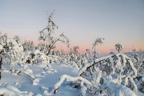 Schön verschneite Birken