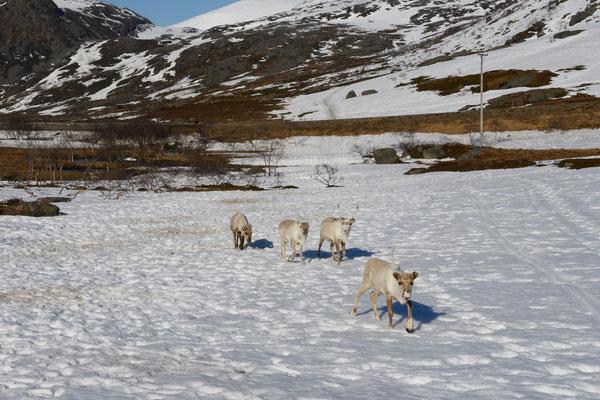 die Rentiere sind wieder zurück vom Winterquartier auf Arnøya