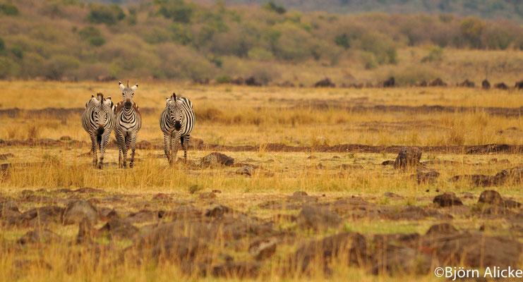Masai Mara 1, Kenia