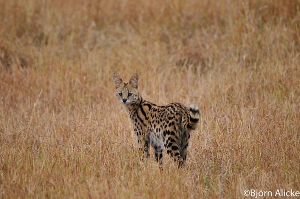 Serval, Masai Mara, Kenia