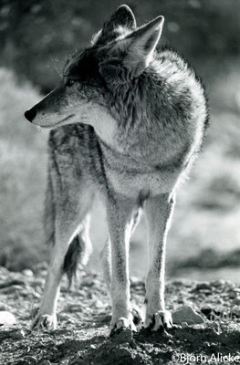 Coyote im Morgenlicht, Death Valley, USA