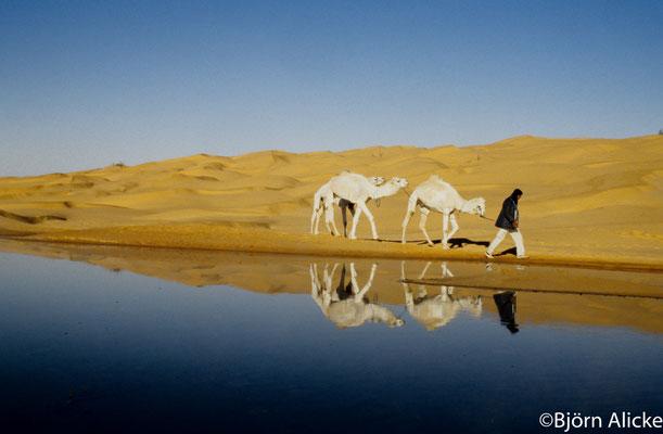morgendliches Kameleinfangen, Sahara
