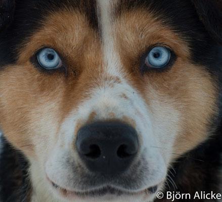 Husky Augen, Finnland