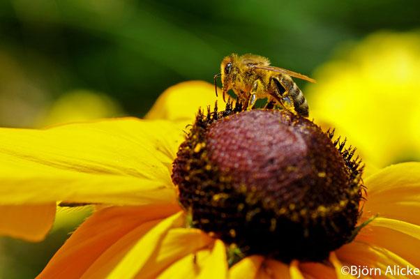 fleißige Biene 1, Bad Wimpfen
