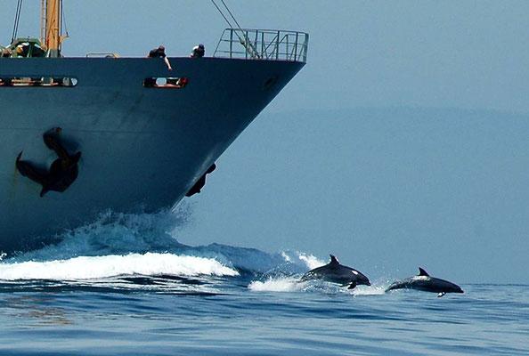 Delfine vor einem Frachter in Tarifa