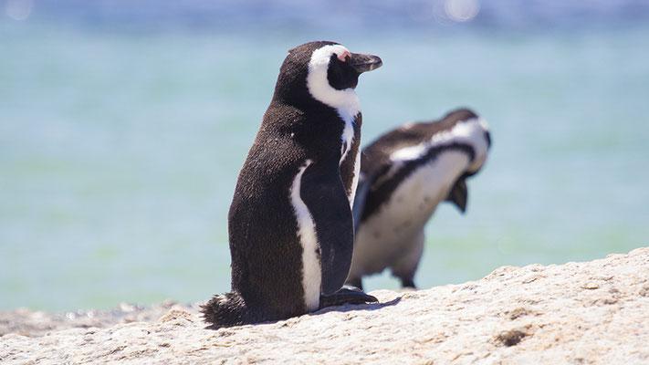 Pinguine am Boulders Beach