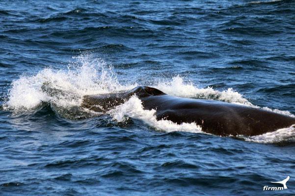Finnwal vor Tarifa