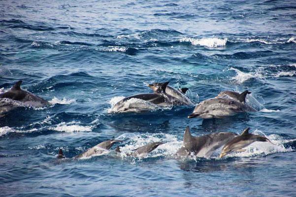 verspielte Delfine vor Tarifa