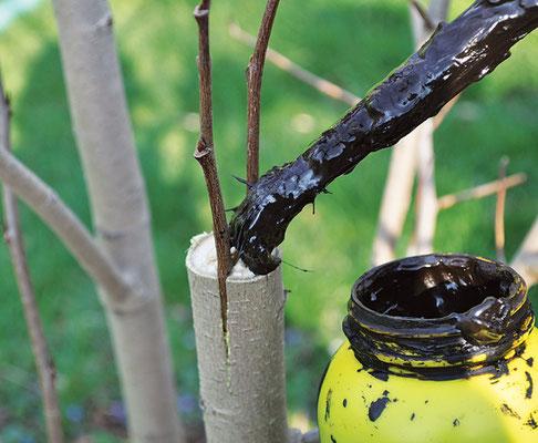 接ぎ木のすべての切断面をシーラントで覆う。