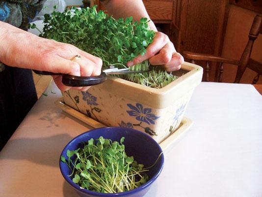野菜が15〜25cmほどになったら、ハサミやナイフを使い、土の面から5mmほど上でカットする。Photo by Peter Burke