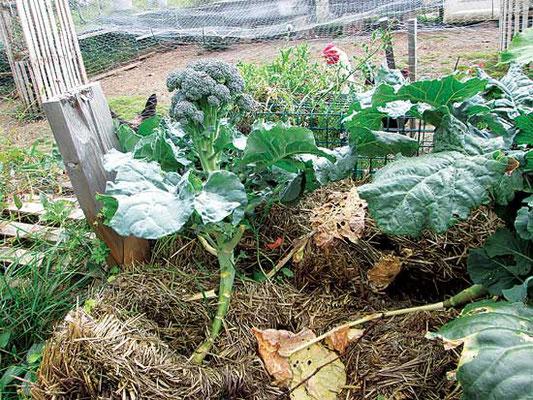 ローラのブロッコリーの株やスカッシュがストローベイル菜園ですくすく育つ。Photo by Laura MacEachern