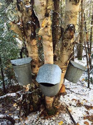 このシラカンバは幹それぞれに採取口をつけられる。