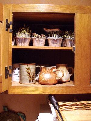 トレーに種を蒔いた後、暖かく暗い場所(食器棚など)に4日間保管して早い発芽を促す。Photo by Peter Burke