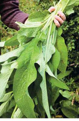 コンフリーの葉は局所的な傷を素早く癒す。