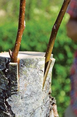 接ぎ木の度に2つの穂木を使 用してリスクヘッジし、穂木 の1つが育たない場合に備え る。
