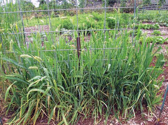 ほとんどの大麦の品種は、高さが 60~90cm になると、穂が出てくる。
