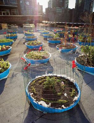 Hell's Kitchen Project では、子供用プールに金網のカバーを付け鉢植えにして、鳩につつかれるのを避けている。