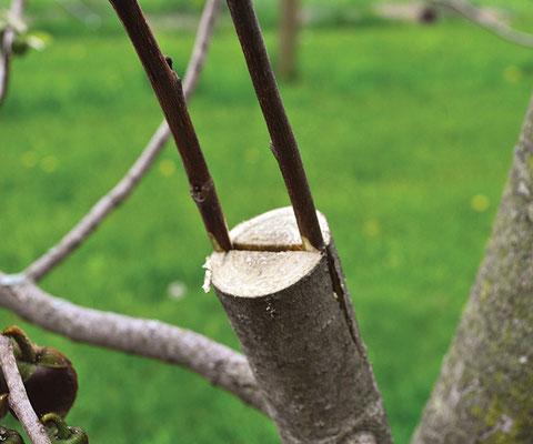 台木を開けてくさび形の穂木を挿入する。