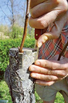 台木の樹皮をはがし、鋭くし た穂木を挿入する。