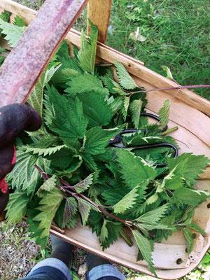 イラクサの収穫には、剪定鋏や手袋などの園芸用具が必要です。 Photo by Maria Noël Groves