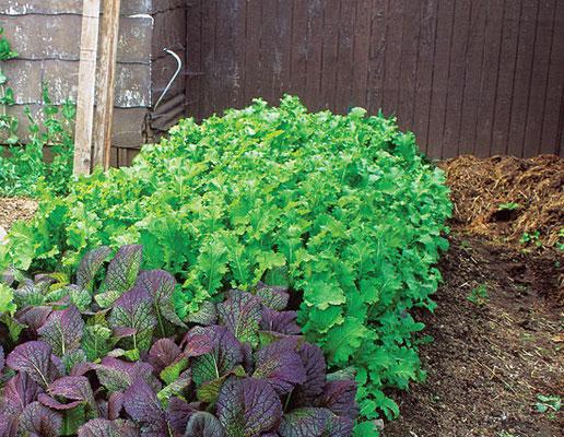 著者キャロル・デップの栽培区画にある「グリーンウェイブ」からし菜(この作物のおかげで「残らず食べる青い庭」を初めて発見)が収穫を待つ。
