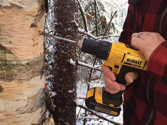 15度の角度で上向きに穴を空け、樹液を流れやすくする。