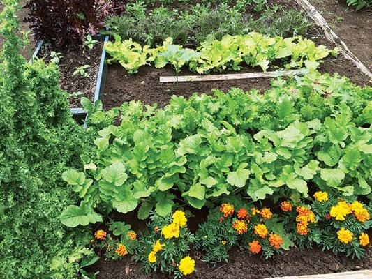 省力的な残らず食べる青葉の手法では、区画分けするか、畝幅を広くして、まばらに播種すると、野菜は5〜10cmの株間になる。収穫は全て刈取り。