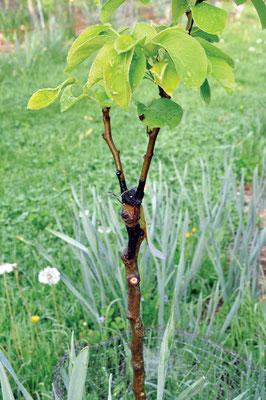 シーラントで、接ぎ木部で形成される新しい細 胞を保護し、乾燥を防ぐ。