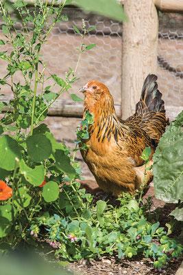 混成の飼料システムでは、雌鶏は菜園で虫や新鮮な青葉を食べられる。