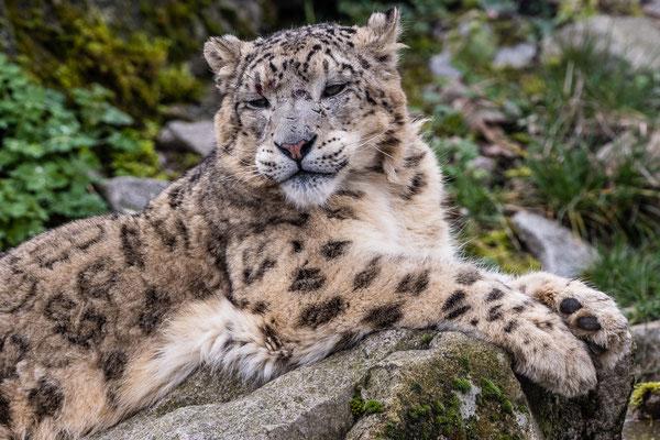 Schneeleopard, Zoo Karlsruhe, März 2020