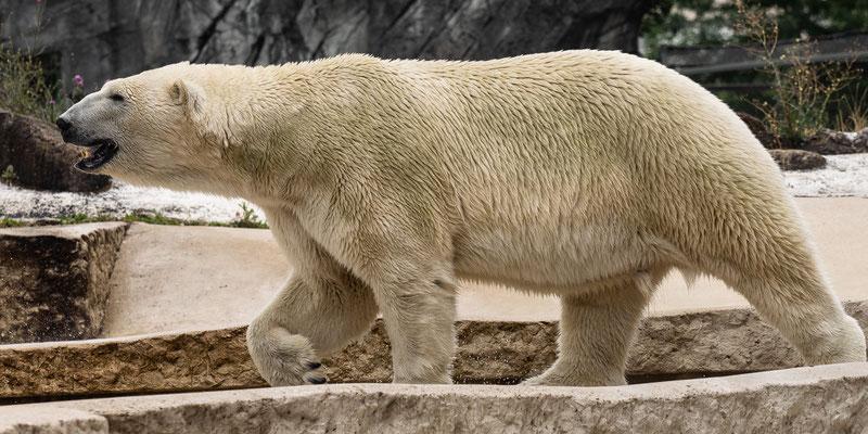 Eisbär, Zoo Karlsruhe, Juli 2018