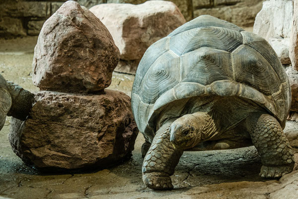 Seychellen-Riesenschildkröte, Zoo Karlsruhe, Okt. 2017