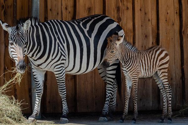 Zebras, Zoo Karlsruhe Juli 2019