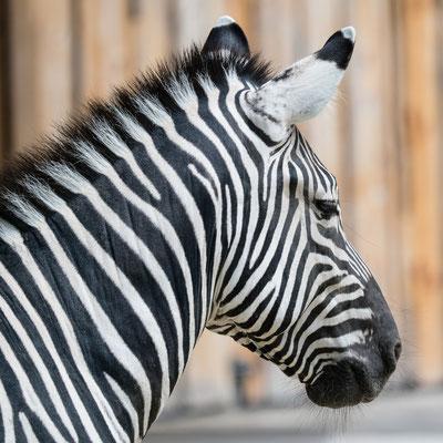 Steppen-Zebra, Zoo Karlsruhe, Juni 2018