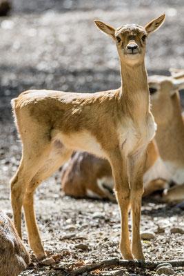 Hirschziegen-Antilope, Tierpark Oberwald, Karlsruhe, März 2020