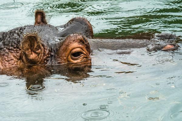 Flusspferd, Zoo Karlsruhe, Juli 2017