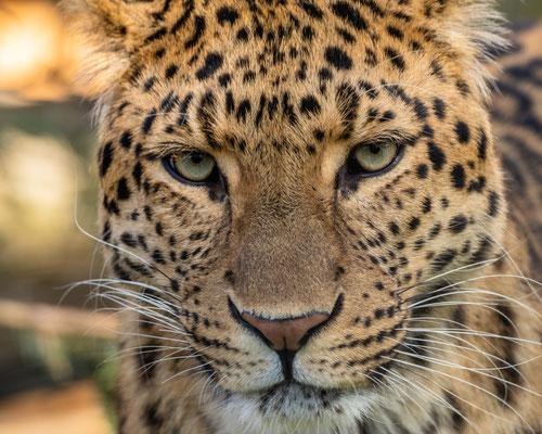 China-Leopard, Zoo Karlsruhe, Apr. 2018
