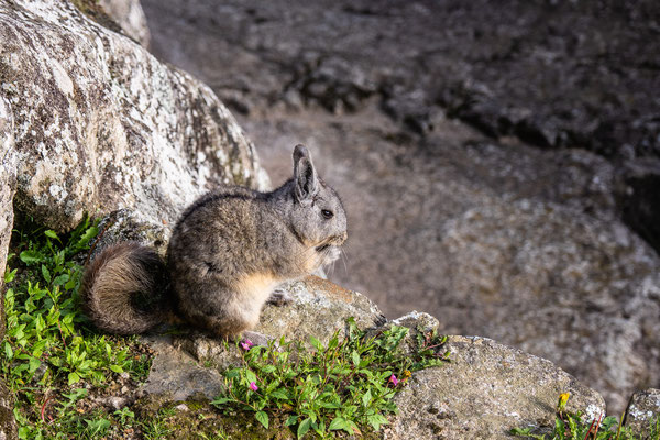 14. Nov.   Machu Picchu: Vizcacha (Hasenmaus)